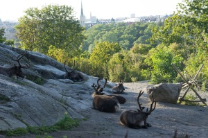 Reindeer at Skansen.