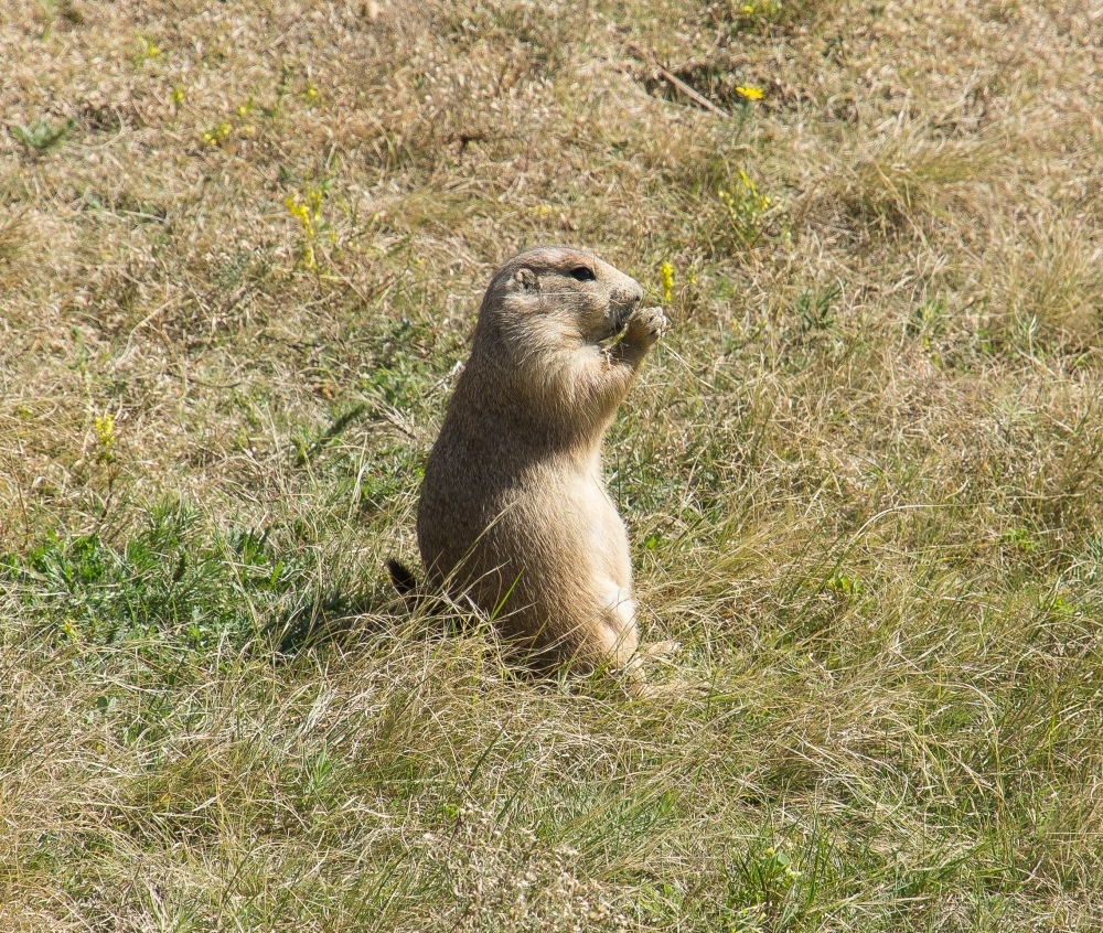 Prairie Dog Village near Devils Tower. They're not shy at all. Apparently they also spread the plague.