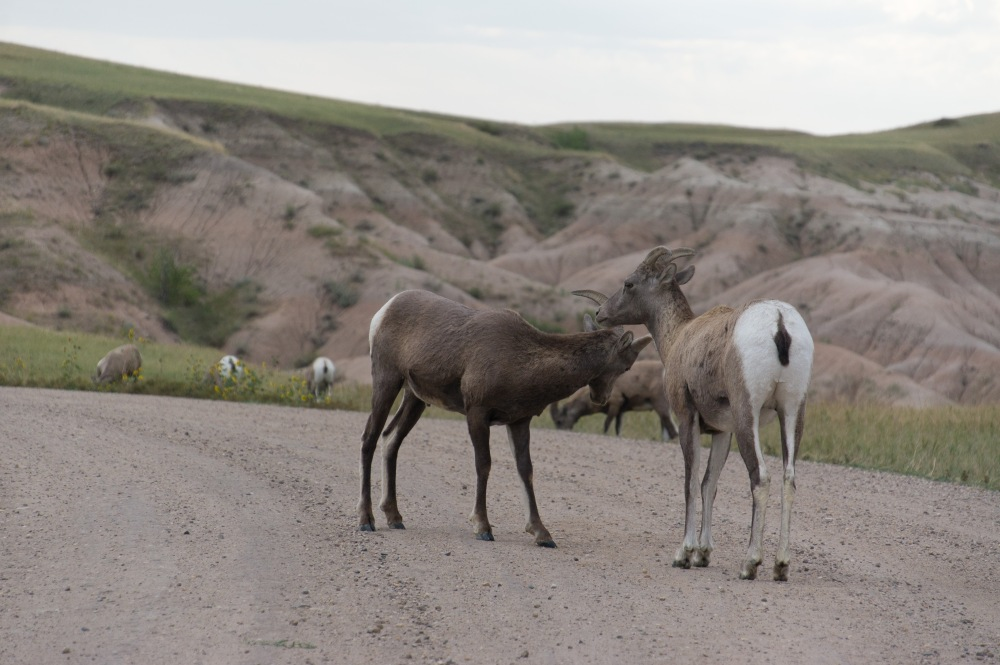 Bighorn sheep blocking the road in Badlands National Park