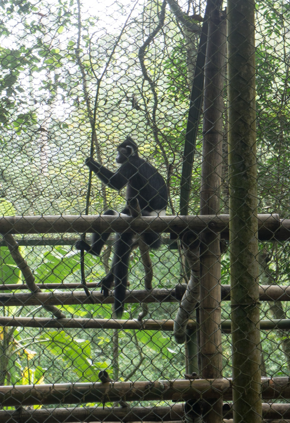 Langur in the Endangered Primate Research Center in Cuc Phuong National Park