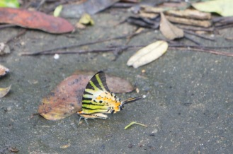Neat butterfly on the scenic road in Cuc Phuong National Park